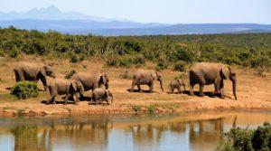 Eléphants, Afrique du Sud