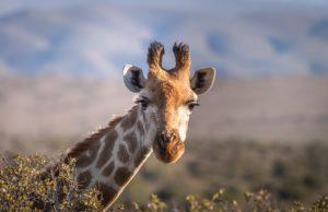 Girafe, Afrique du Sud