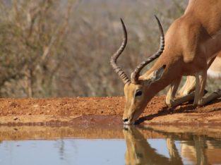 Impala, Afrique du Sud