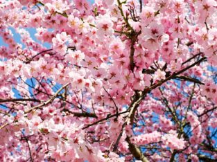 Sakura, Japon