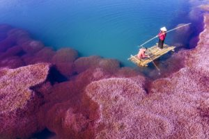Algues roses, Vietnam